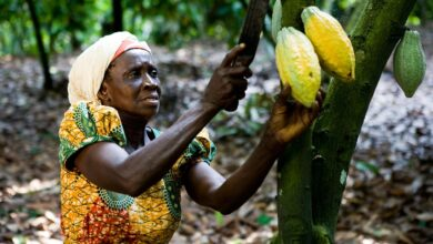 Photo of Ghana's cocoa sector under threat from illegal mining activities