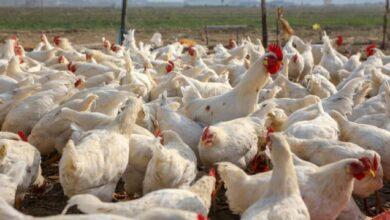 Photo of Outbreak of Bird Flu: Seven farms affected so far in Ghana